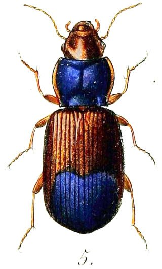 Beetles attracted to automobile paints