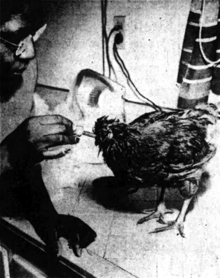 Mrs. Martha Green feeds her headless rooster Lazarus using an eyedropper filled with egg yolk and milk.