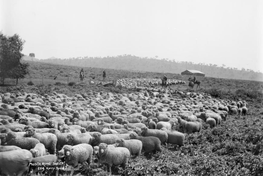 Mustering Sheep in Sydney
