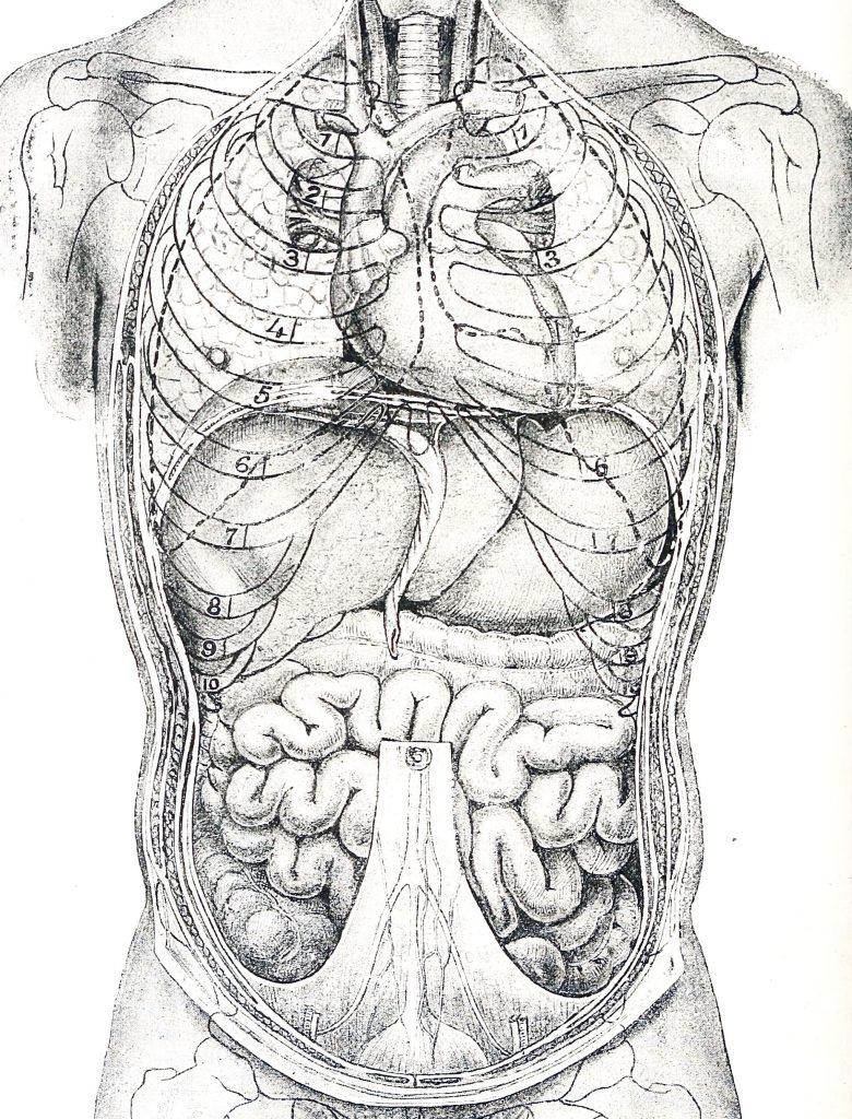 1897 image of internal organs