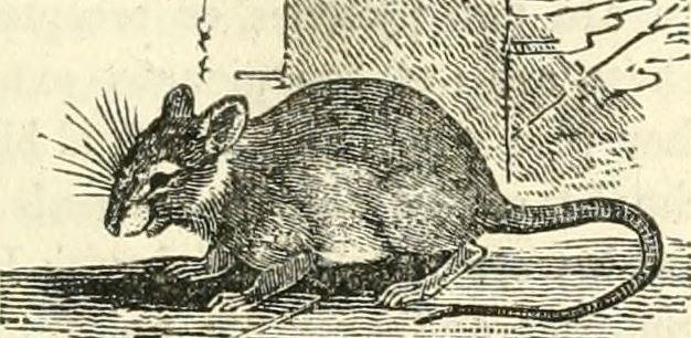 1834 sketch of a Rat