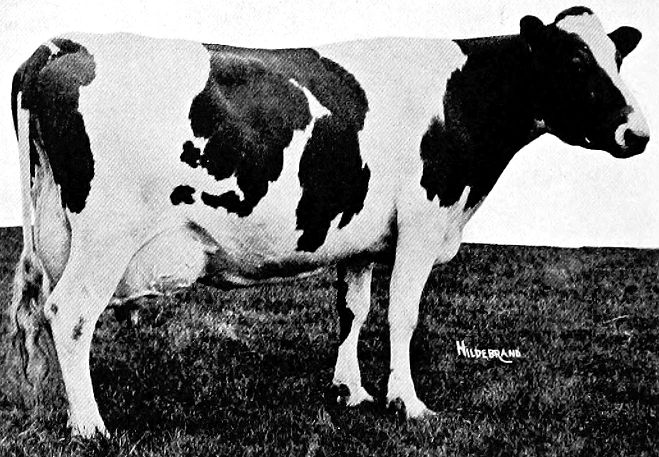 1915 image of a Holstein-Friesian cow.