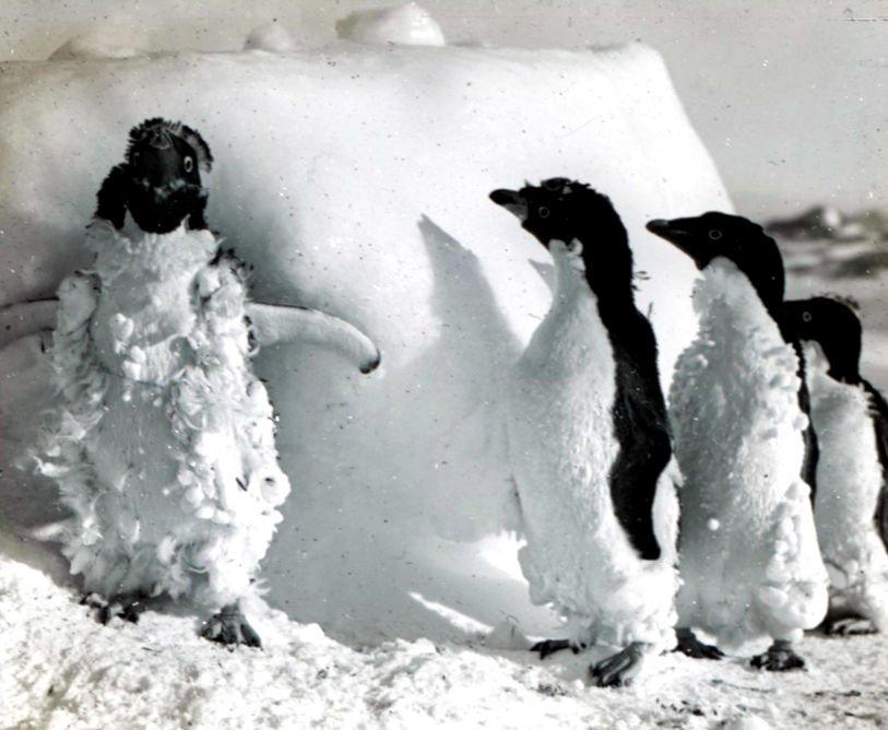 Adelie penguins at Cape Denison
