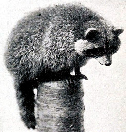 1916 photograph of a raccoon.