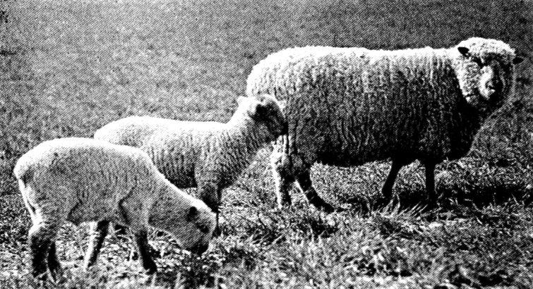 1918 image of sheep.
