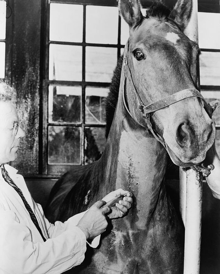 A biologist injecting a horse with diphtheria bacteria at the New York City Department of Health serum and vaccine farm, Otisville, New York