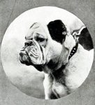 1911 image of a bulldog.