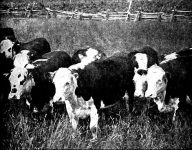 4 Cows Killed By Lightning