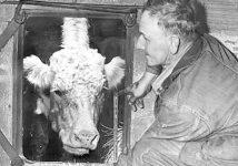 Grady the Cow stuck in farmer Bill Mach's silo.