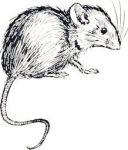 Sketch of a Mouse