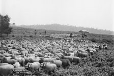 Mustering Sheep in Sydney