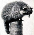 1916 photograph of a raccoon.