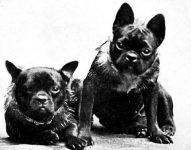 French Bulldogs, 1906